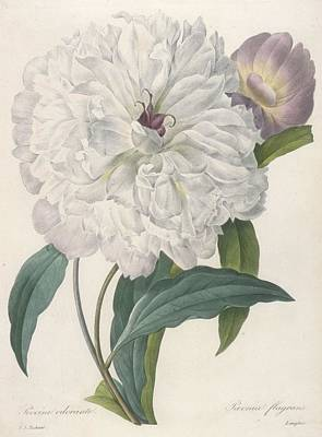 Feminine Drawing - Paeonia Flagrans Peony by Pierre Joseph Redoute