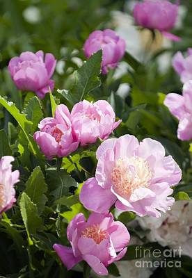 Bowl Of Flowers Photograph - Paeonia Lactiflora 'bowl Of Beauty' by Maria Mosolova