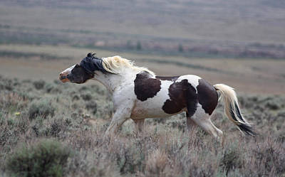 Photograph - Paint Mustang Stallion by Jean Clark