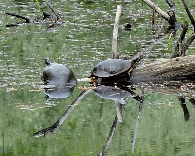 Photograph - Paint Turtles by Lucinda VanVleck