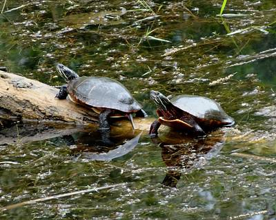Photograph - Paint Turtles On A Log by Lucinda VanVleck