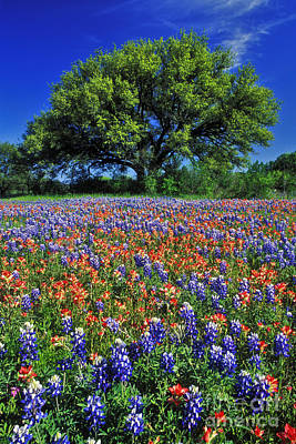 Live Oaks Photograph - Paintbrush And Bluebonnets - Fs000057 by Daniel Dempster