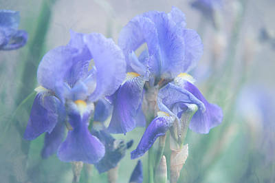 Photograph - Painted Blue Irises 1 by Jenny Rainbow