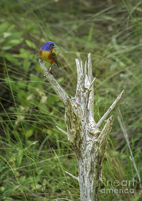 Photograph - Painted Bunting by David Waldrop