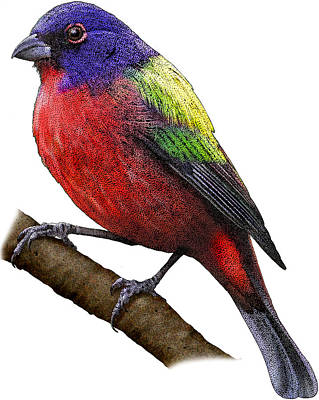 Photograph - Painted Bunting, Illustration by Roger Hall