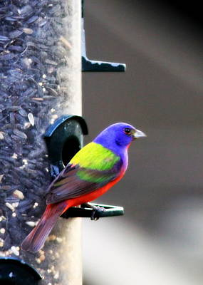 Painted Bunting - Img 9757-002 Art Print