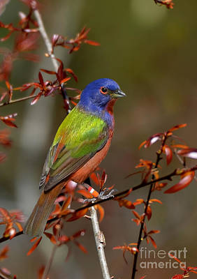 Photograph - Painted Bunting - Male by Kathy Baccari