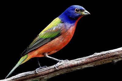 Photograph - Painted Bunting On Black by Ira Runyan