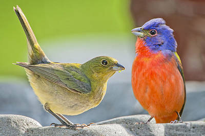 Painted Bunting Photograph - Painted Bunting Pair by Bonnie Barry