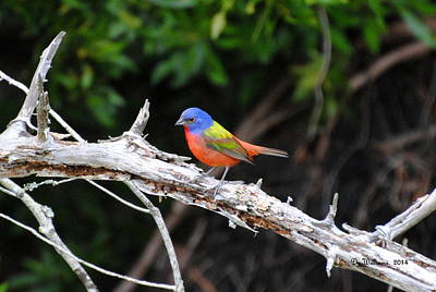 Painted Bunting Perched On Limb Art Print