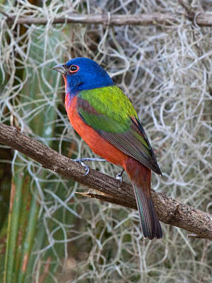 Painted Bunting Art Print by Phil Stone