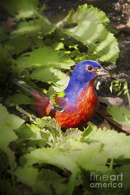 Photograph - Painted Bunting by Ronald Lutz