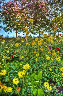 Photograph - Painted Daisy Mixed Colors Sunflowers by David Zanzinger