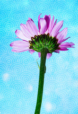 Photograph - Painted Daisy by Shawna Rowe