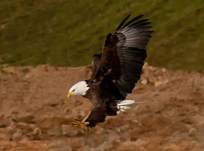 Photograph - Painted Eagle by Lara Ellis