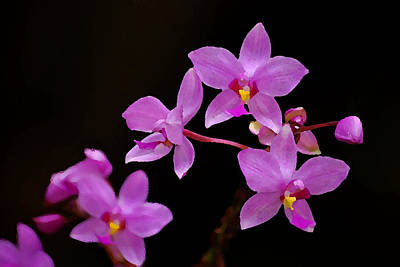 Art Print featuring the photograph Painted Ground Orchids by Lorenzo Cassina