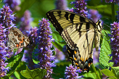 Photograph - Painted Lady And Swallowtail On Anise Hyssop by Kristin Hatt