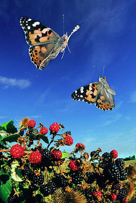Vanessa Wall Art - Photograph - Painted Lady Butterflies by Dr. John Brackenbury/science Photo Library