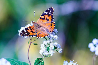 Photograph - Painted Lady Butterfly 1 by Ben Graham