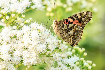 Photograph - Painted Lady Butterfly by Ben Graham