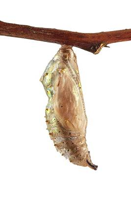 Vanessa Wall Art - Photograph - Painted Lady Butterfly Cocoon by Science Photo Library
