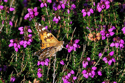 Vanessa Wall Art - Photograph - Painted Lady Butterfly by Leslie J Borg/science Photo Library