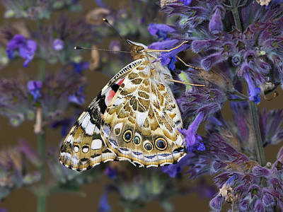 Animals And Insects Photograph - Painted Lady Butterfly Netherlands by Frans Hodzelmans