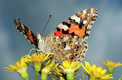 Vanessa Wall Art - Photograph - Painted Lady Butterfly On Ragwort Flowers by Dr. John Brackenbury/science Photo Library