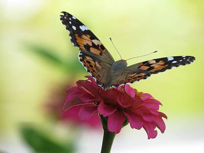 Photograph - Painted Lady Butterfly On Zinnia by MTBobbins Photography