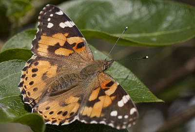 Photograph - Painted Lady Butterfly by Richard Thomas