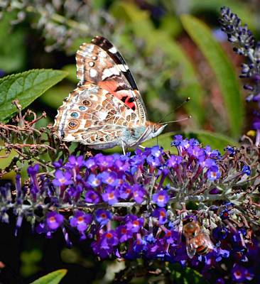 Photograph - Painted Lady by Deena Stoddard