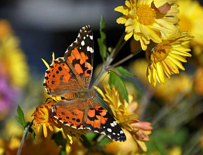 Photograph - Painted Lady  by Eric Rundle