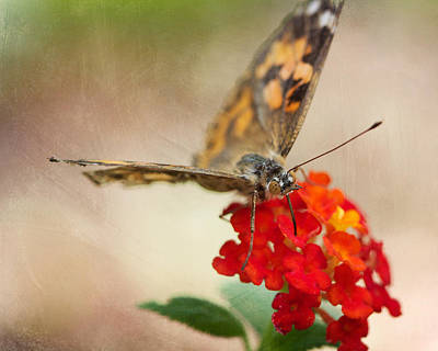 Photograph - Painted Lady II 8x10 by Pamela Gail Torres