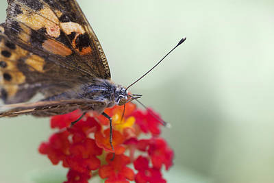 Photograph - Painted Lady II by Pamela Gail Torres