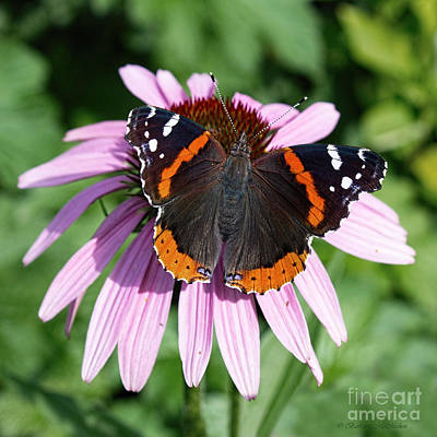 Photograph - Painted Lady In Waiting by Barbara McMahon