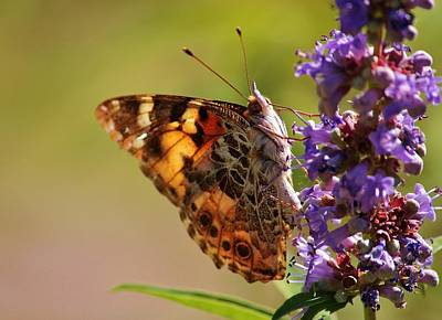 Photograph - Painted Lady by Marcia Breznay