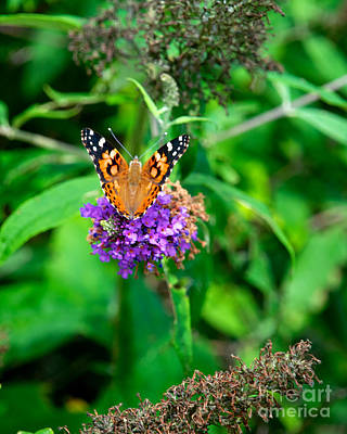 Photograph - Painted Lady by Mark Dodd