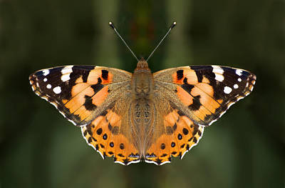 Butterfly Photograph - Painted Lady by Meir Ezrachi