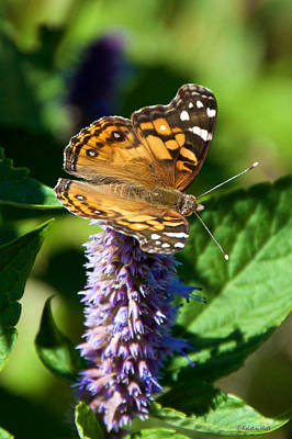Photograph - Painted Lady On Anise Hyssop by Kristin Hatt