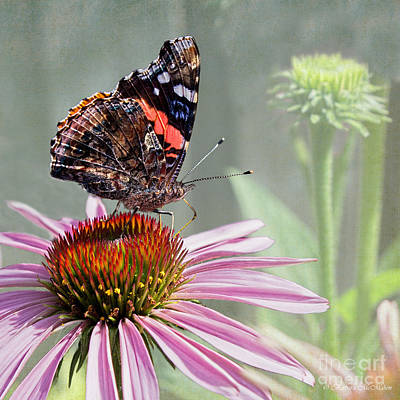 Photograph - Painted Lady On Coneflower by Barbara McMahon