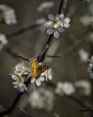 Photograph - Painted Lady On Wild Plum by Michael Dougherty