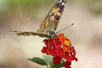 Photograph - Painted Lady by Pamela Gail Torres