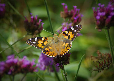 Photograph - Painted Lady by Robert Geary