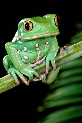 Anuran Photograph - Painted Monkey Frog Phyllomedusa by David Northcott