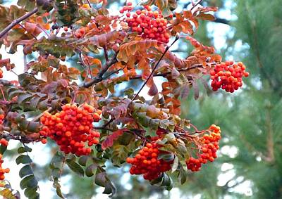 Digital Art - Painted Mountain Ash Berries by Will Borden