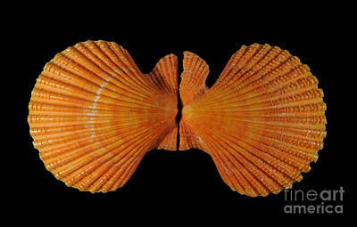 Photograph - Painted Scallop by Scott Camazine
