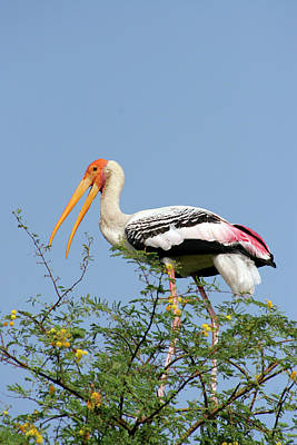Stork Wall Art - Photograph - Painted Stork by Nick Wiseman/science Photo Library