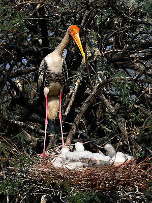 Photograph - Painted Stork With Chicks by Manjot Singh Sachdeva