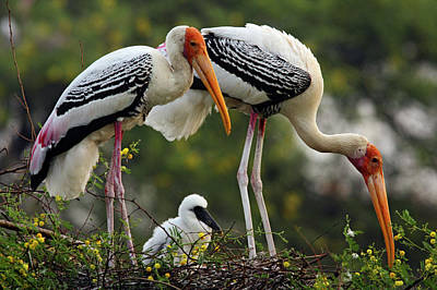 Painted Storks & Young One Art Print by Jagdeep Rajput