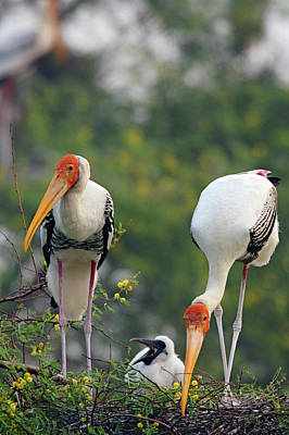 Painted Storks And Youngone,keoladeo Print by Jagdeep Rajput